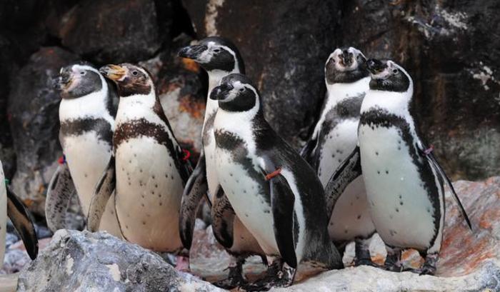 Brookfield Zoo Penguins