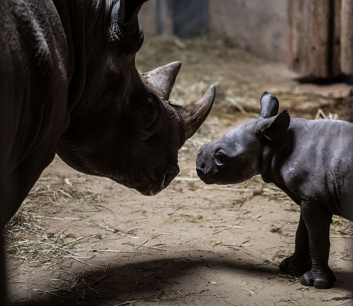 Baby rhino at Lincoln Park Zoo