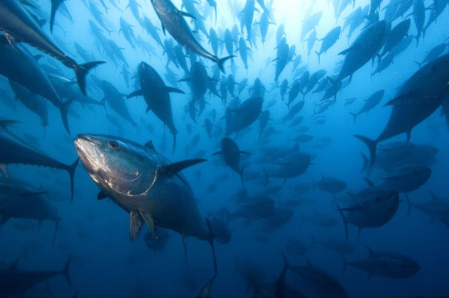 Bluefin Tuna in tuna ranching company's (Ecolo Fish) cages - Mediterranean Sea, Spain