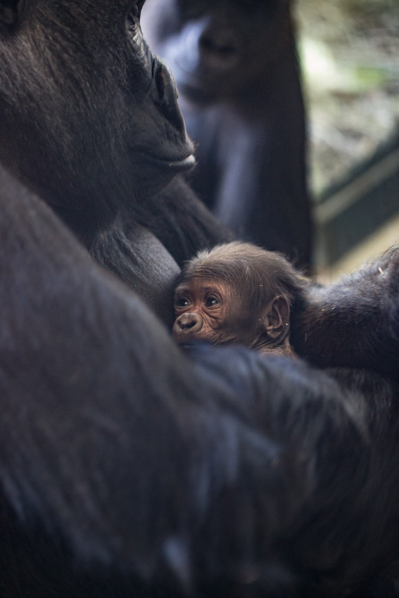 Baby gorilla at Lincoln Park Zoo