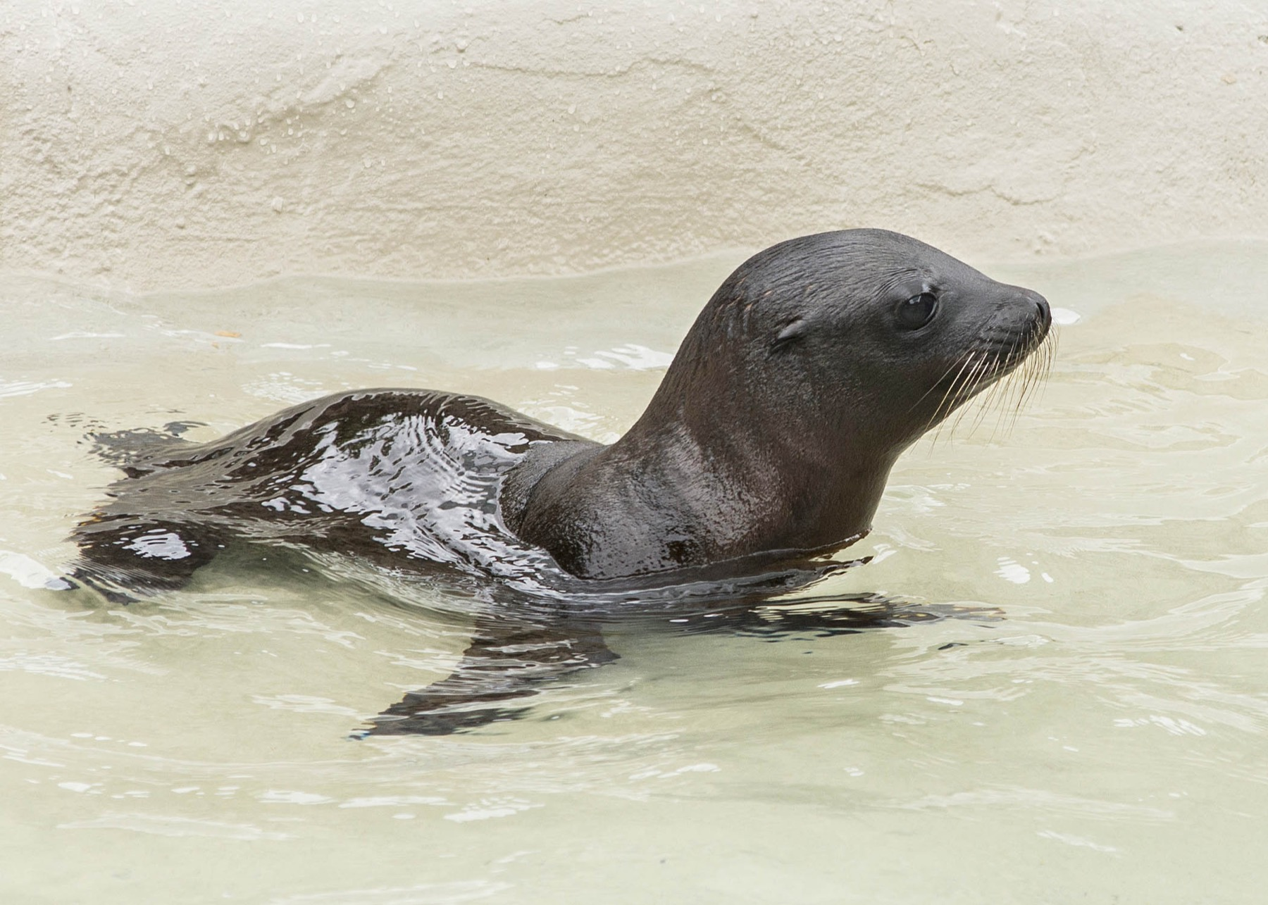 Baby sea lion at Brookfield Zoo