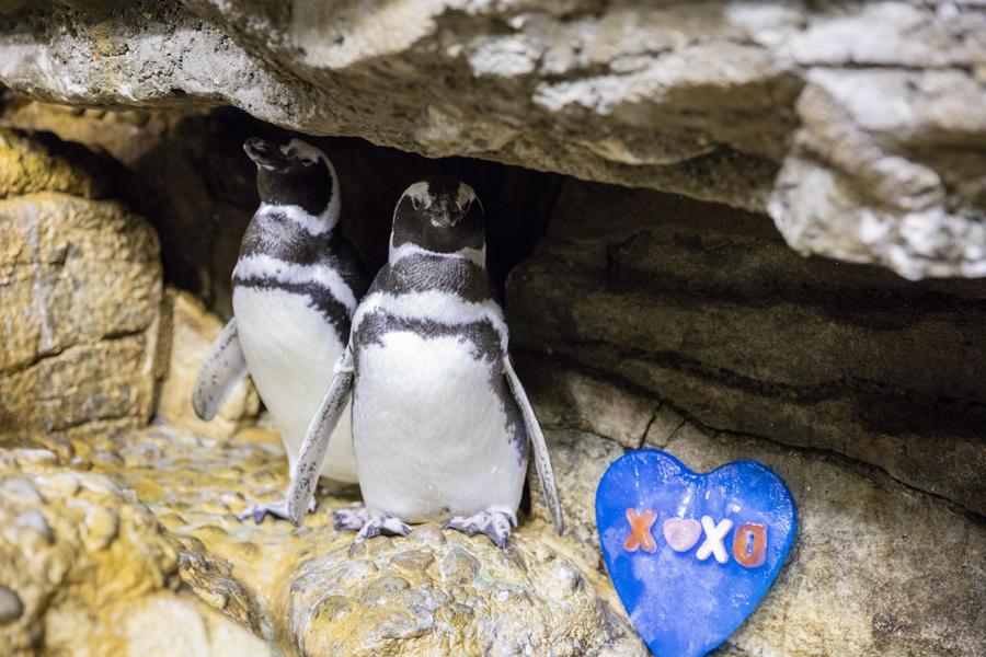 Penguin Valentines Enrichment at Shedd