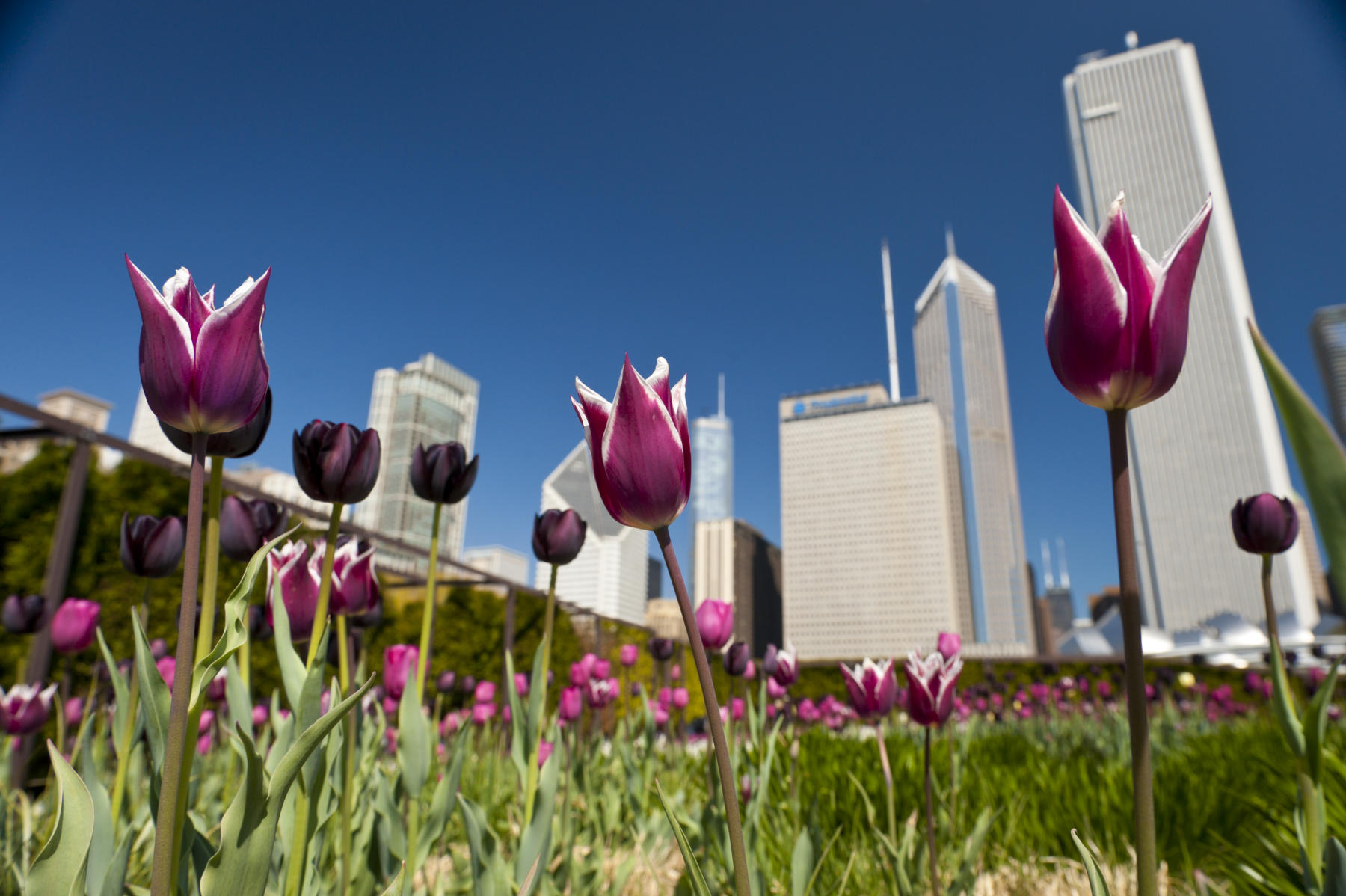 Chicago tulips during spring