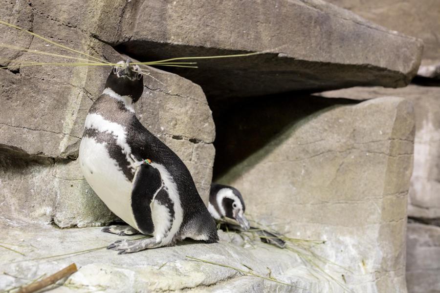 penguins nesting 2020