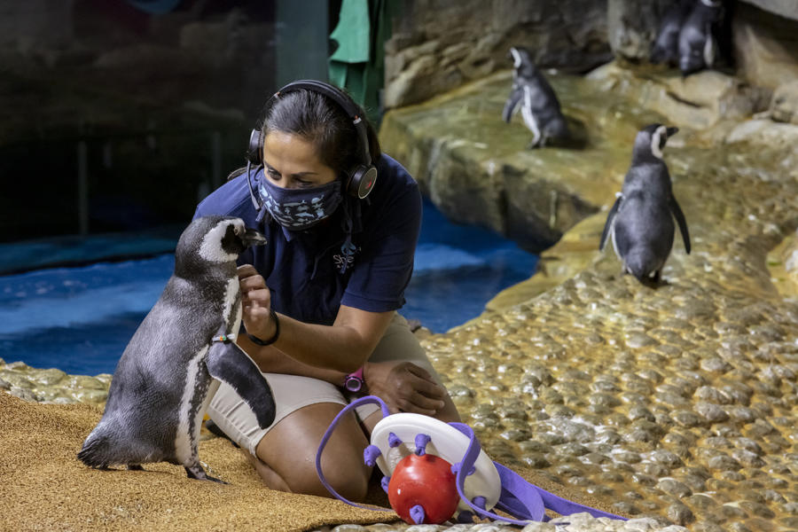 A trainer with the penguins at the Shedd Aquarium